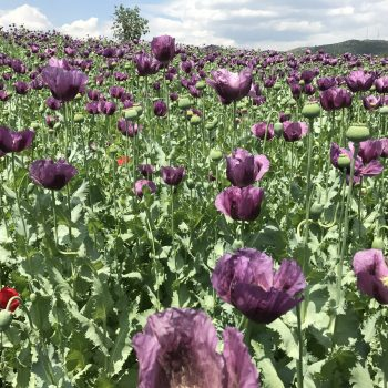 poppy seed2